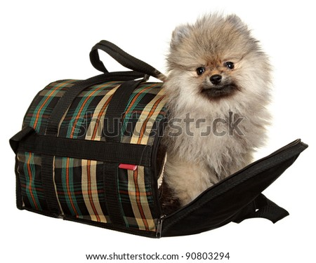 Spitz puppy in front of white background . Pomeranian dog In a bag for resocks of animals  isolated on a white background