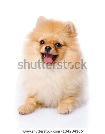 spitz puppy lying in front. isolated on white background