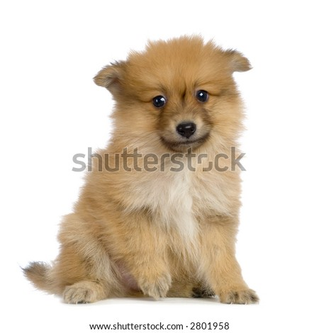 Spitz puppy sitting in front of white background