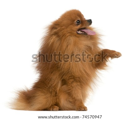 Spitz, 3 years old, with paw up in front of white background - stock photo