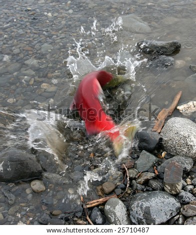 Splashing Red Salmon Moves Up Stream