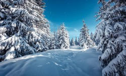 Splendid Alpine scenery in winter. Fantastic frosty morning in forest. snow-cowered pine trees under sunlight. Fantastic mountain highland.  Amazing winter background. Wonderful Christmas Scene