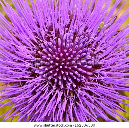 Splendid purple flower of wild artichoke in full bloom and with all the stamens showing its delicious nectar