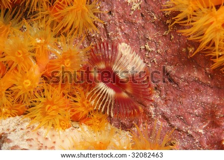 Split-Crown Feather Duster Worm (Anamobaea orstedii) with Orange Cup Coral (Tubastraea coccinea)