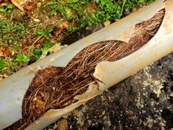 Split drainage pipe caused by ingress of tree roots