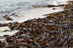 Split-fan kelp washed up on the west coast of Namibia,Africa.Kelp is touted as a super food and contains a variety of vitamins and minerals, including vitamin B, zinc, copper, calcium, iron and more.
