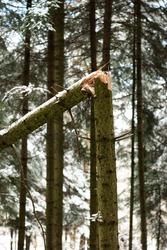 Split in half tree trunk from heavy snowfall in a forest sharp splinters .