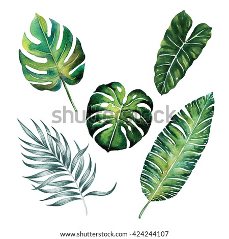 Split leaves ,Palm ,Banana tropic forest spring season watercolour ,jungle tropical botany ,object isolated on white background illustration