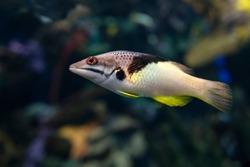 Split-level hogfish, Bodianus mesothorax, coral fish