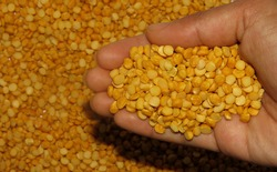 Split pea in a hand,Isolated Split peas, Close up of Isolated Split peas in Hand,Split peas are an agricultural or culinary preparation consisting of the dried.