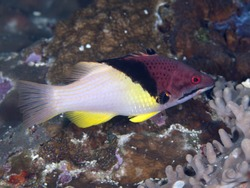 Splitlevel hogfish in Bohol sea, Phlippines Islands