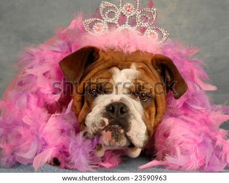 spoiled dog - english bulldog dressed up with tiara and pink boa