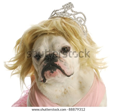spoiled dog - english bulldog wearing blond wig and tiara