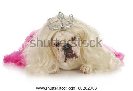 spoiled dog - english bulldog wearing wig and tiara on white background