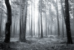 spooky abstract black and white fogy forest in spring sunrise