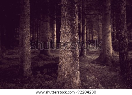 Spooky forest with conifers in sepia