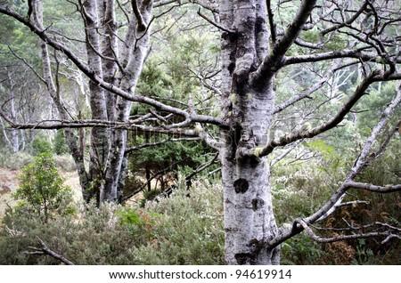 Spooky tree trunks. Acacia dealbata tree trunks in Tasmanian forest