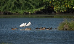 Spoon billed Storks - Wetland birds from South India.