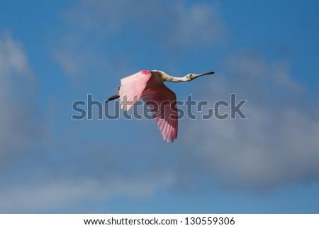 Stock Photo Spoonbill in Flight