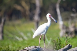 Spoonbill or white Spoonbill from Kenya