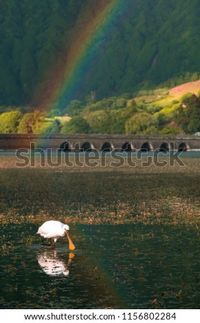 Spoonbill, standing in the reflection of a rainbow looking for food in the Green lake at Sete Cidades on Sao Miguel, the Azores. #1156802284