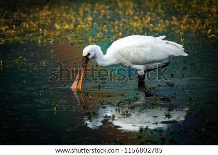 Spoonbill, standing in the reflection of a rainbow looking for food in the Green lake at Sete Cidades on Sao Miguel, the Azores. #1156802785
