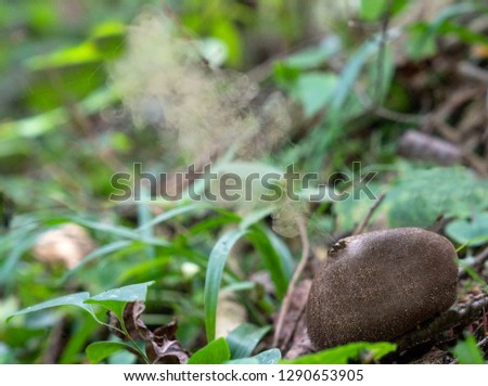 Spores coming out of puffball fungus