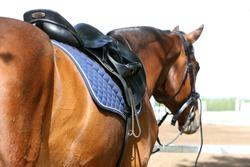 Sport horse close up under old leather saddle on dressage competition. Equestrian sport background