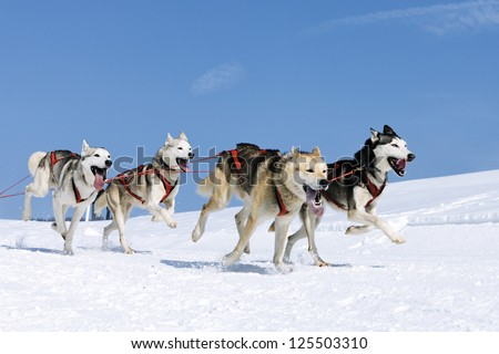 sportive dogs in the snow, extreme, mountain