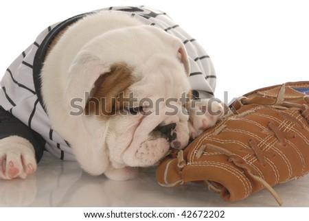 sports fan - english bulldog puppy wearing jersey chewing on baseball glove