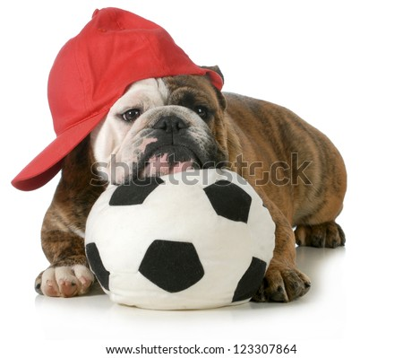 sports hound - english bulldog laying down with head resting on soccer ball
