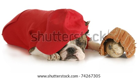 sports hound - english bulldog wearing red shirt and hat with baseball and glove on white background