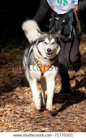 Sports with a dog. Canikross. Alaskan Malamute