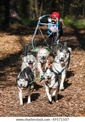 Sports with dogs. Dog-carting team. Dryland