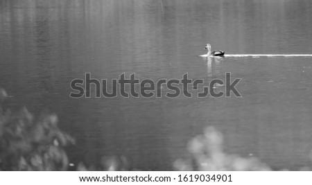 Spot billed duck in Bandipur, Karnataka, india