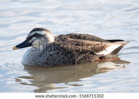 Spot-billed duck in Lake Hyoko, Niigata prefecture, Japan