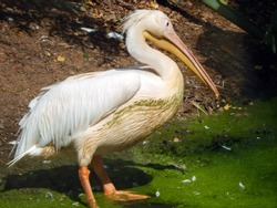 Spot-billed pelican: A large pale water bird with a hefty bill marked with diagnostic dark spots on the upper mandible. The head is grizzled with a hint of a shaggy crest.