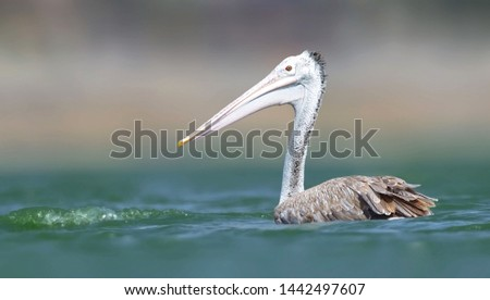 Spot-billed pelican: A large pale waterbird with a hefty bill marked with diagnostic dark spots on the upper mandible. It has ring of bare skin around its eye that looks like it's wearing glasses.