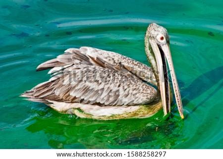 Spot billed pelican Beira lake, Sri Lanka