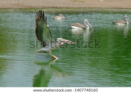 Spot-billed pelican bird is landing on water in lake, Large pale waterbird with hefty bill marked with diagnostic dark spots on its upper mandible, grizzled head and shaggy crest