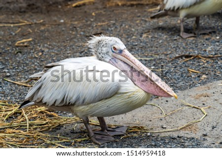 Spot-billed Pelican (Pelecanus Philippensis) acting to the camera. Beautiful portrait close up of a magnificent spot-billed pelican in its natural environment.