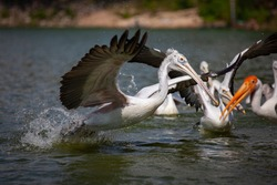 Spot-billed pelican (Pelecanus philippensis) fly up from water surface. Side view.
