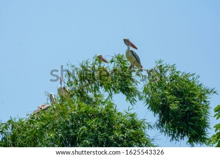Spot billed pelicans at Ranganathittu Bird Sanctuary, Srirangapatna, Karnataka