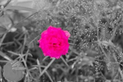 Spot colour pink on black and white images,light pink portulaca grandiflora flower.