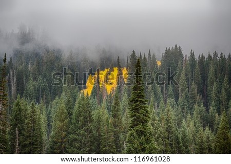 Spot of Gold aspens in the middle of pine trees that are covered with low clouds and fog/ Left Over Autumn Aspens