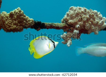 Spotfin Butterflyfish feeding on coral on underwater shipwreck
