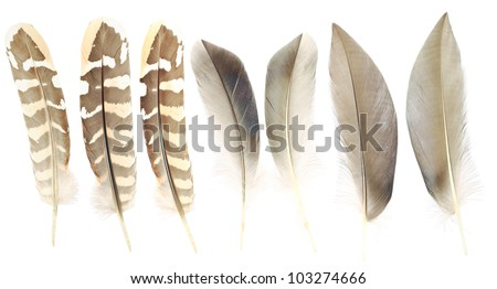 Spots and brown of wild duck feathers collection, Isolated on the white background