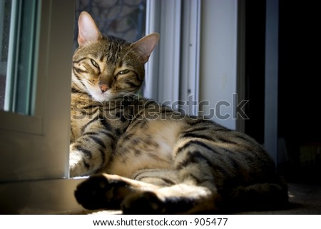 Spotted Bengal Cat (Bred down from the Asian Leopard) Sun Bathing.