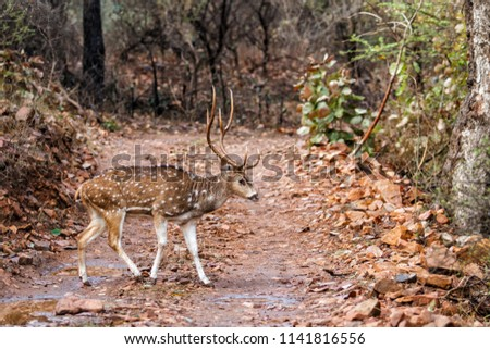 Spotted dear male in Ranthambore National Park in India #1141816556
