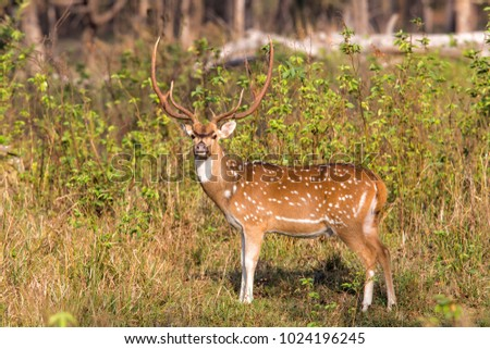 Spotted dear or chital in Knha National Park in India #1024196245